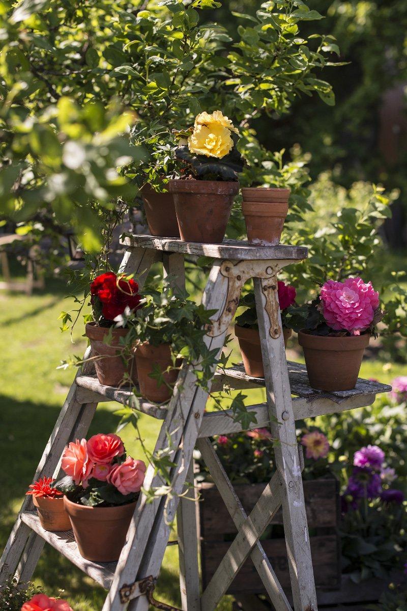 Bilde av sommerblomster, begonia knoll