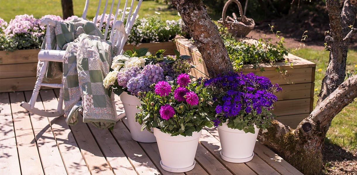 Bilde av sommerblomster, hortensia, georgine og senetti