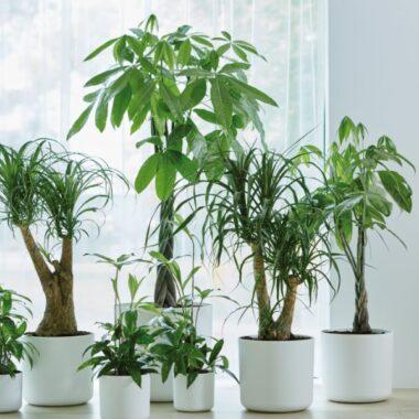 Grønne palmer og palmetrær i hvite potter fylt med jord