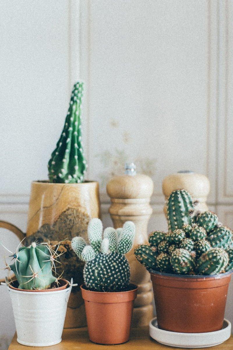 Ulike kaktus i små krukker og potter