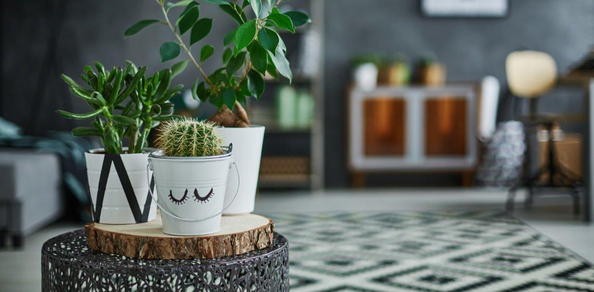 Kaktus og sukkulenter i stue