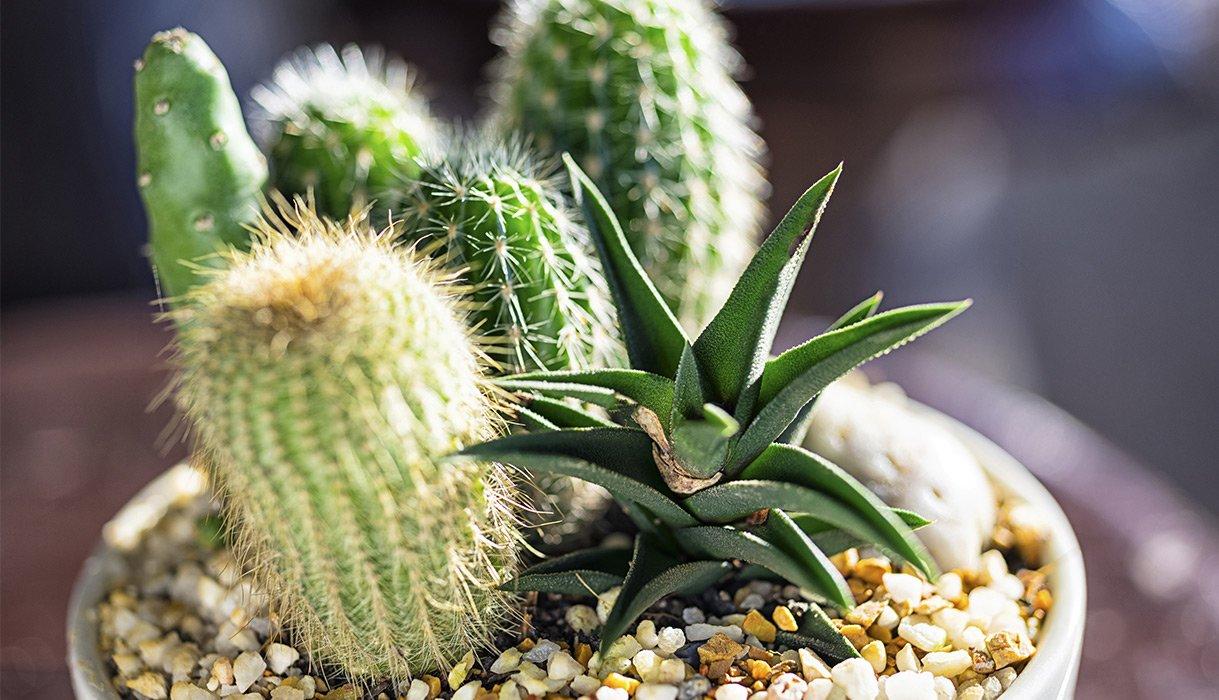 Nærbilde av kaktuser i potte