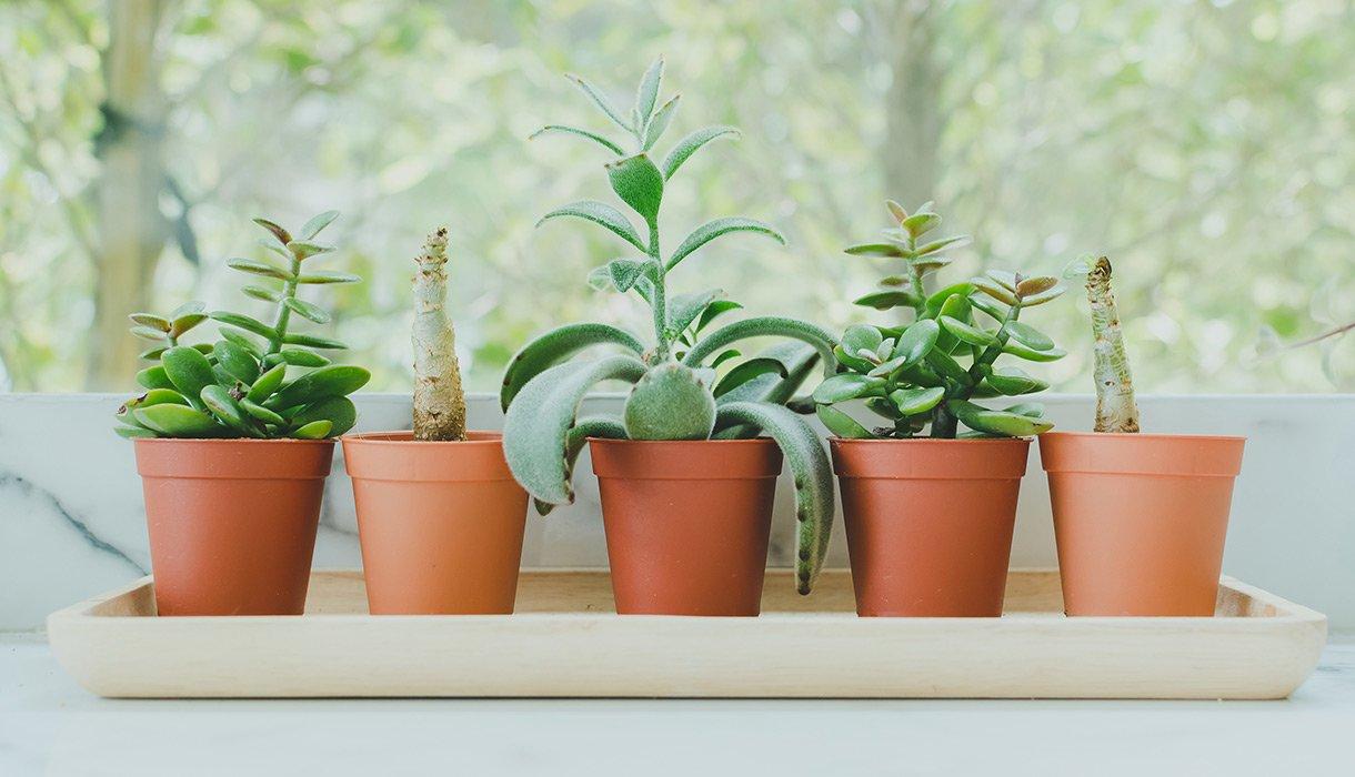 5 sukkulenter i potter på brett i vinduskarmen