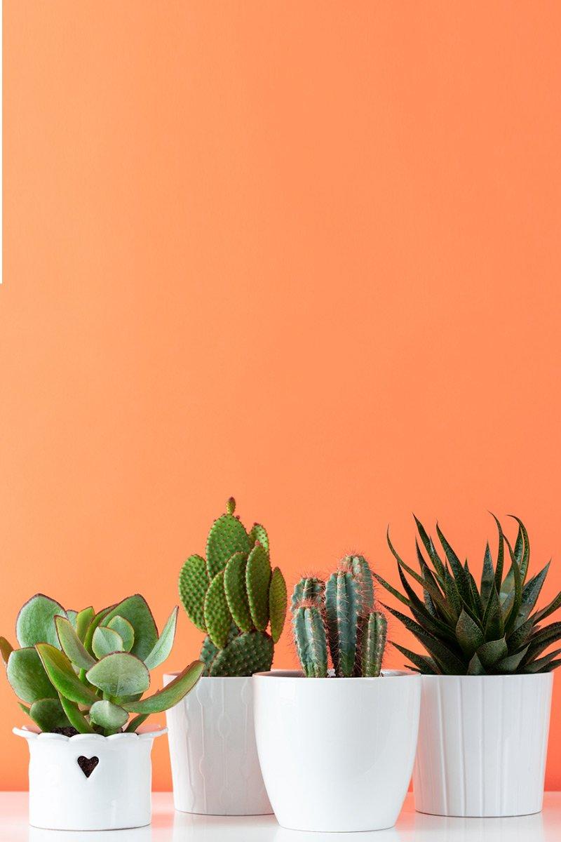 Kaktuser og sukkulenter i hvite potter med ferskenfarget bakgrunn