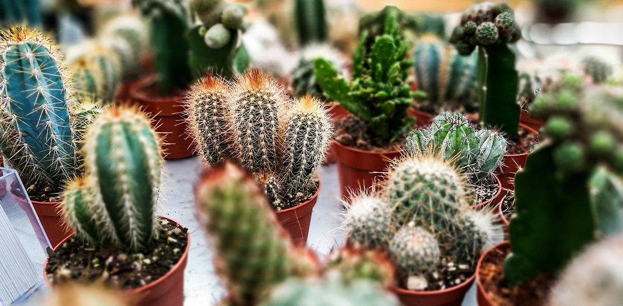 Kaktuser og sukkulenter