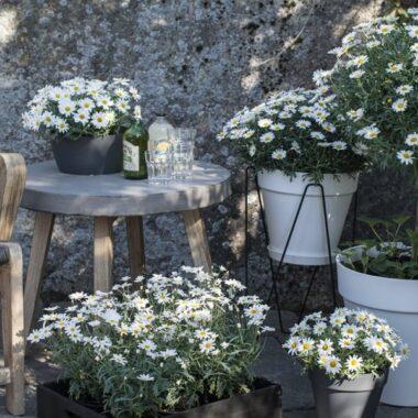 Hvite margeritter i hvite potter fra Elho på veranda med hagestol og hagebord