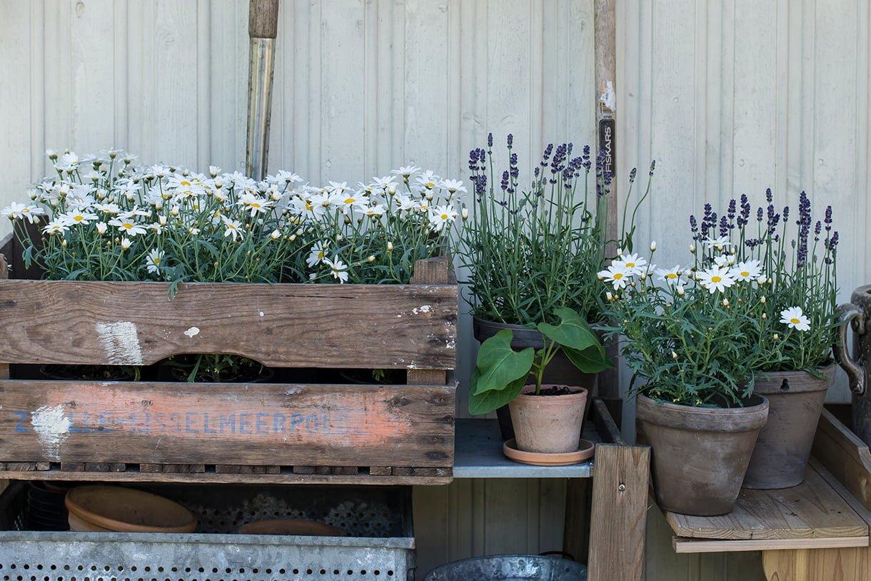 Hvite margeritter og lavendel i plantekasser og potter