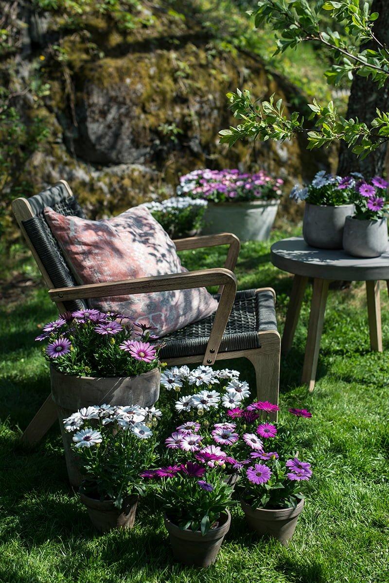 Spansk margeritter fristende fargenyanser i hagepotter på bord og ved siden av hagestol