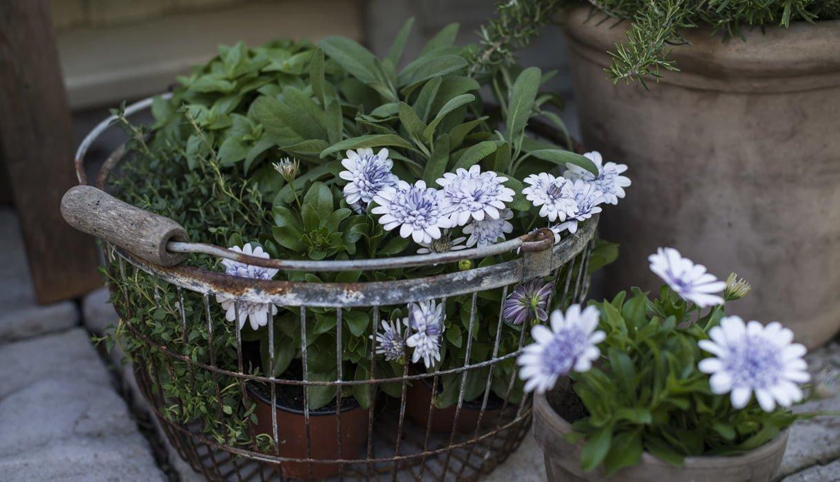 Spansk margeritter i fristende farger i små potter