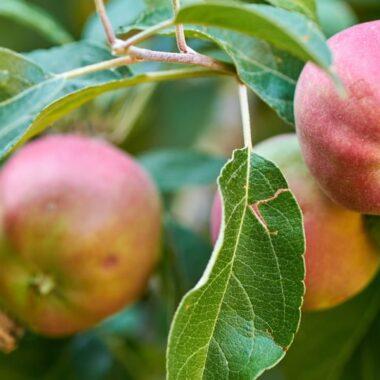 Epler i epletre