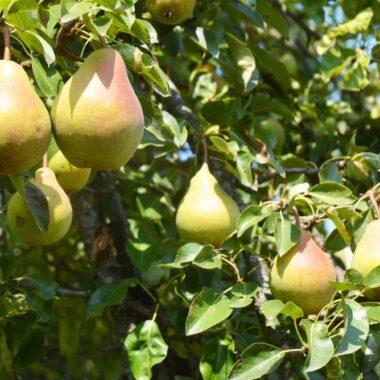 Pærer i sollys i pæretre