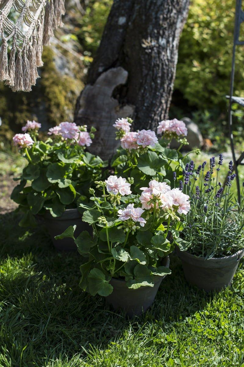 Pelargonia og lavendel i utepotter i hage
