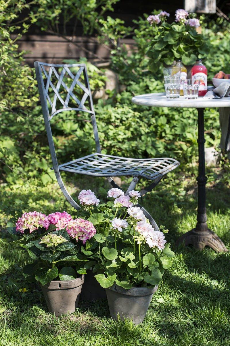 Pelargonia, hortensia i potter i hage ved siden av hagestol og hagebord