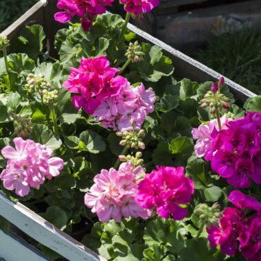 Pelargonia pelargonium i plantekasse