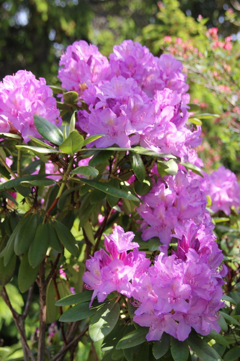 Rhododendron cat grandiflorum