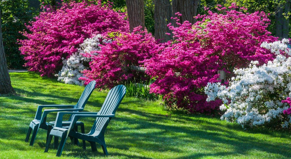 Rhododendron som blomstrer