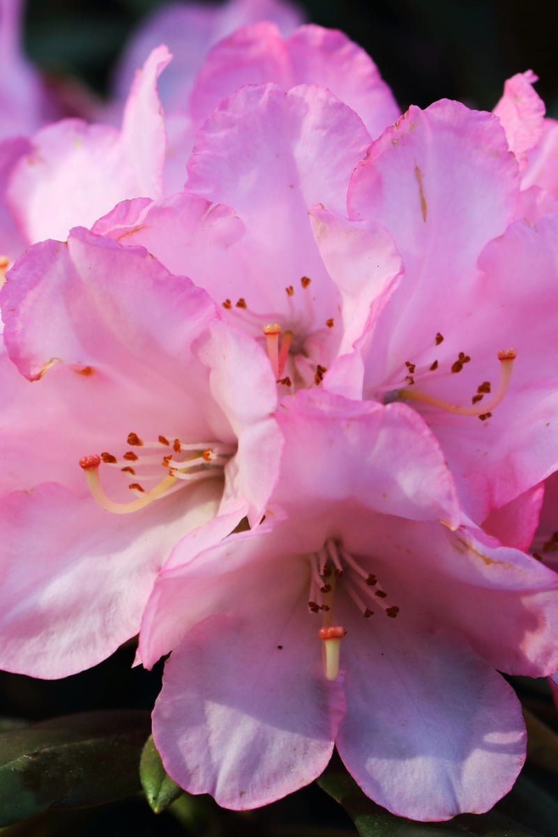 rhododendron rosa, giftig