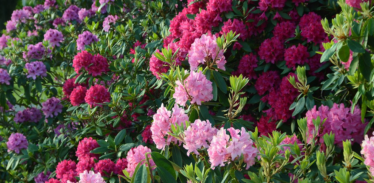 Rhododendron i mange farger