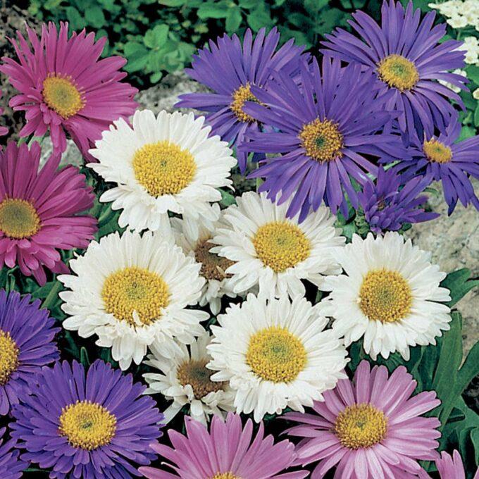 Alpeaster i hvitt, lilla og rosa