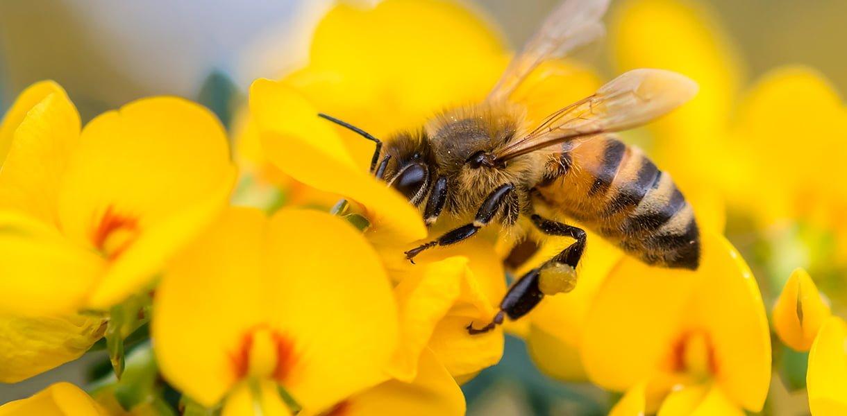 bie på gul blomst