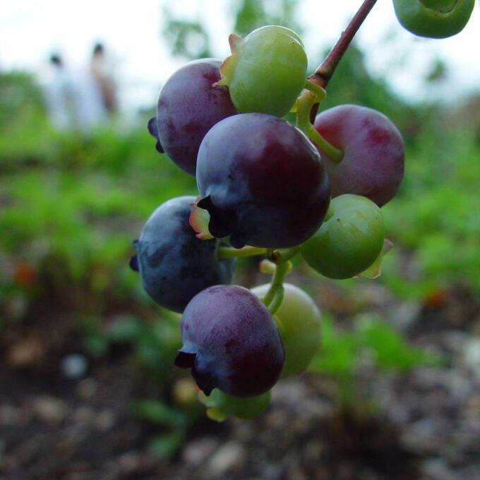 Nærbilde av blåbær