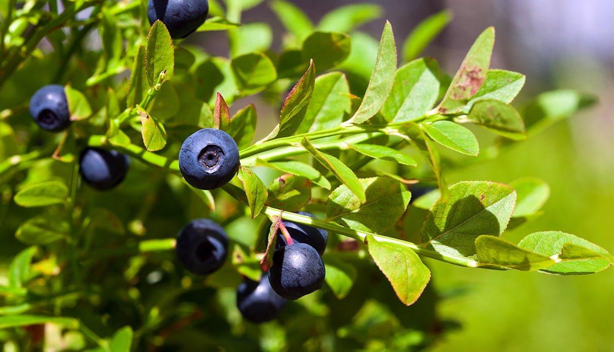 Blåbær på busk i sollys