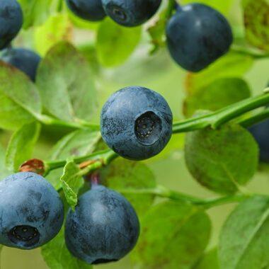 blåbær på busk