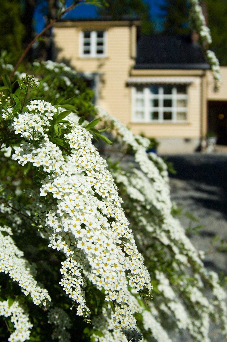 Brudespirea busk blomster hvit