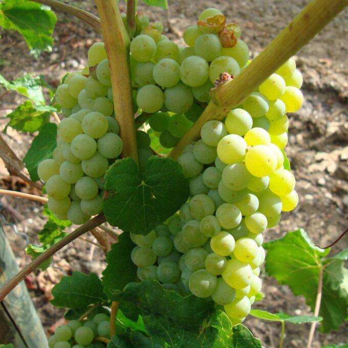 Grønne drueklaser på ranker, Supaga