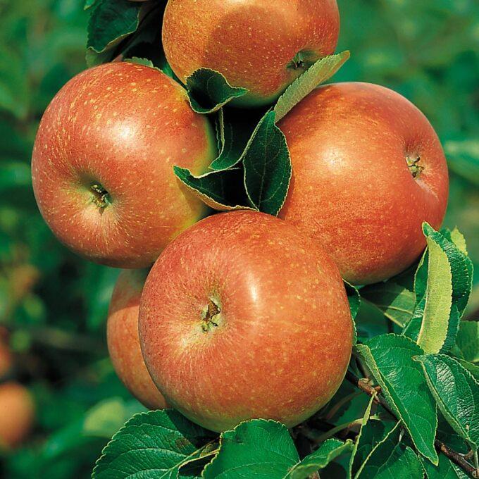 Nærbilde av modne røde epler av sorten Aroma i sollys