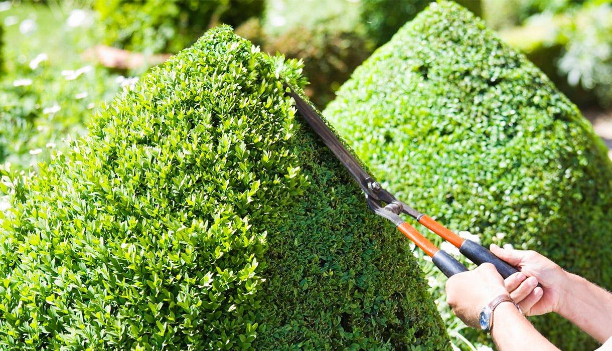Person klipper busker med saks