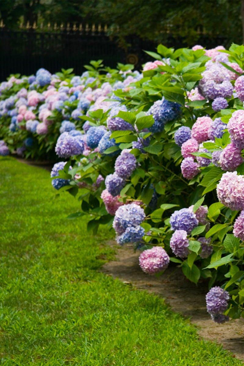 Hortensia busk lilla rosa