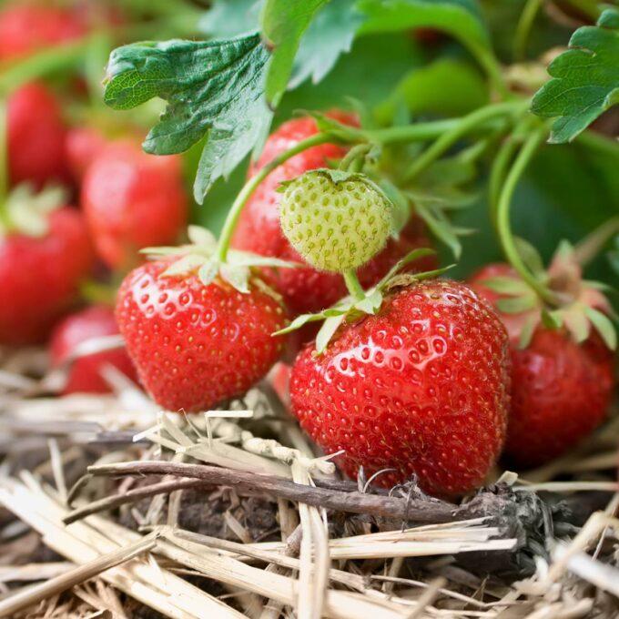 Nærbilde av jordbær Korona