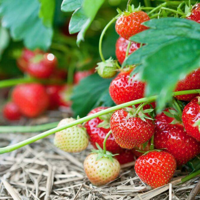 Nærbilde av jordbær Polka