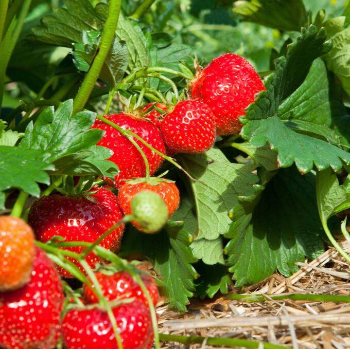 Nærbilde av jordbær av sorten Polka i sollys
