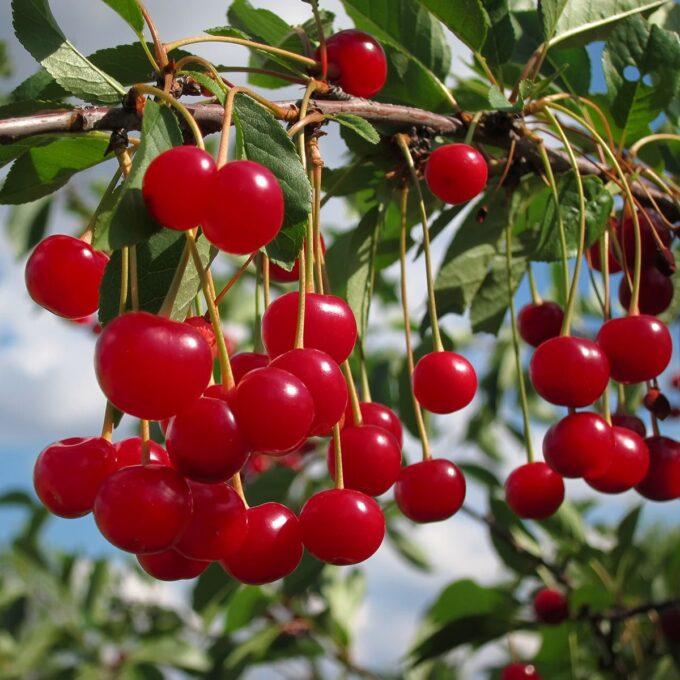 Fanal-kirsebær, sterkt røde