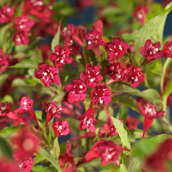 Klokkebuskblomster, røde
