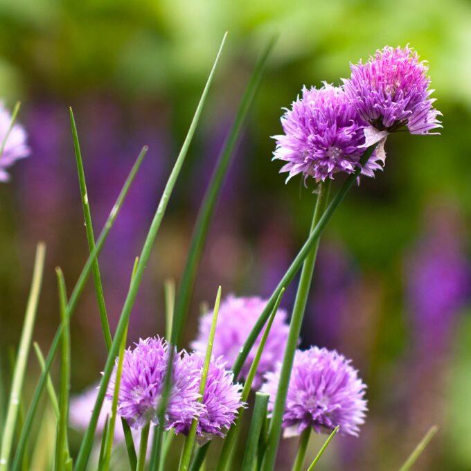 Gressløk med blomster