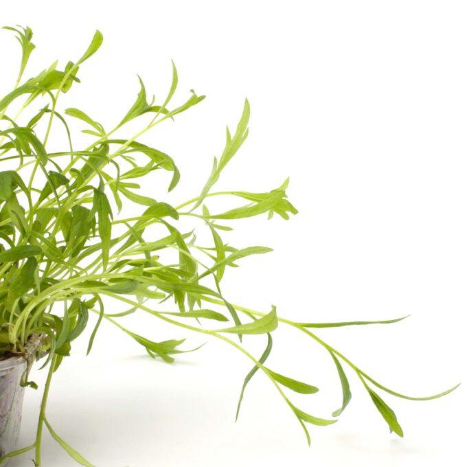 Frisk og grønn estragonplante