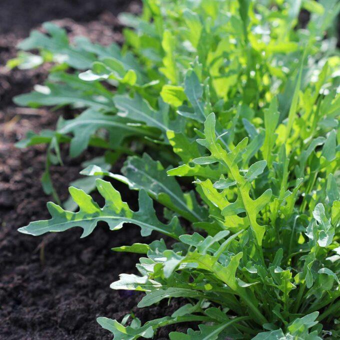 Ruccola i grønnsaksåker