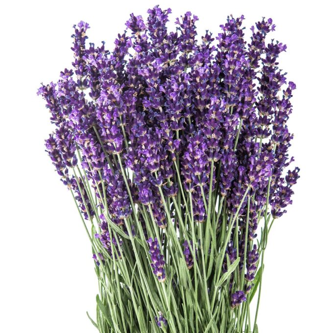 Lavendel i fullt flor