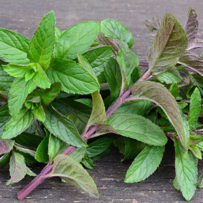 Peppermynte-plante utendørs