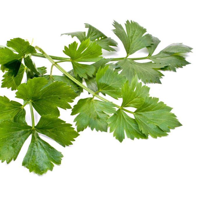 Blader av selleripersille Petroselinum crispum