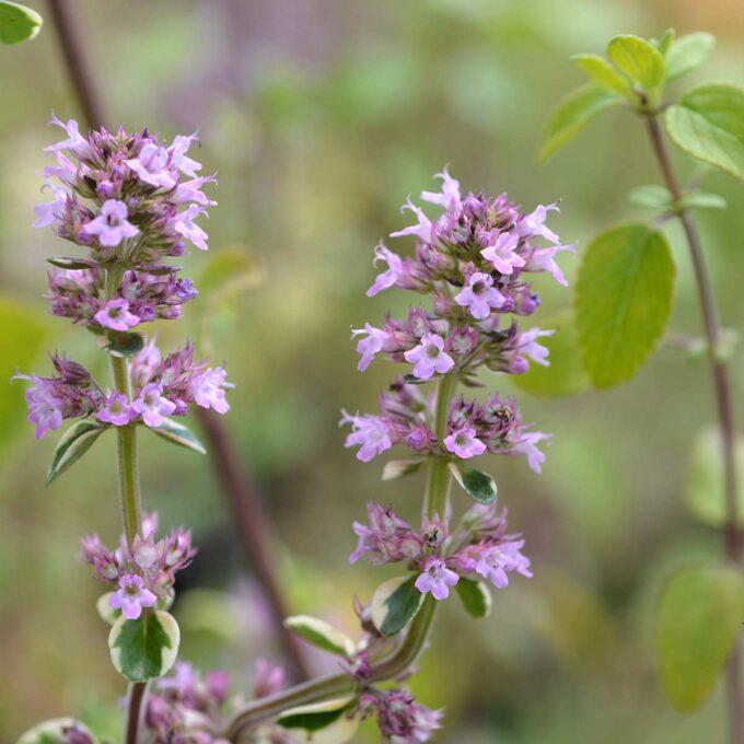 Nærbilde av stengler med sitrontimian-blomster