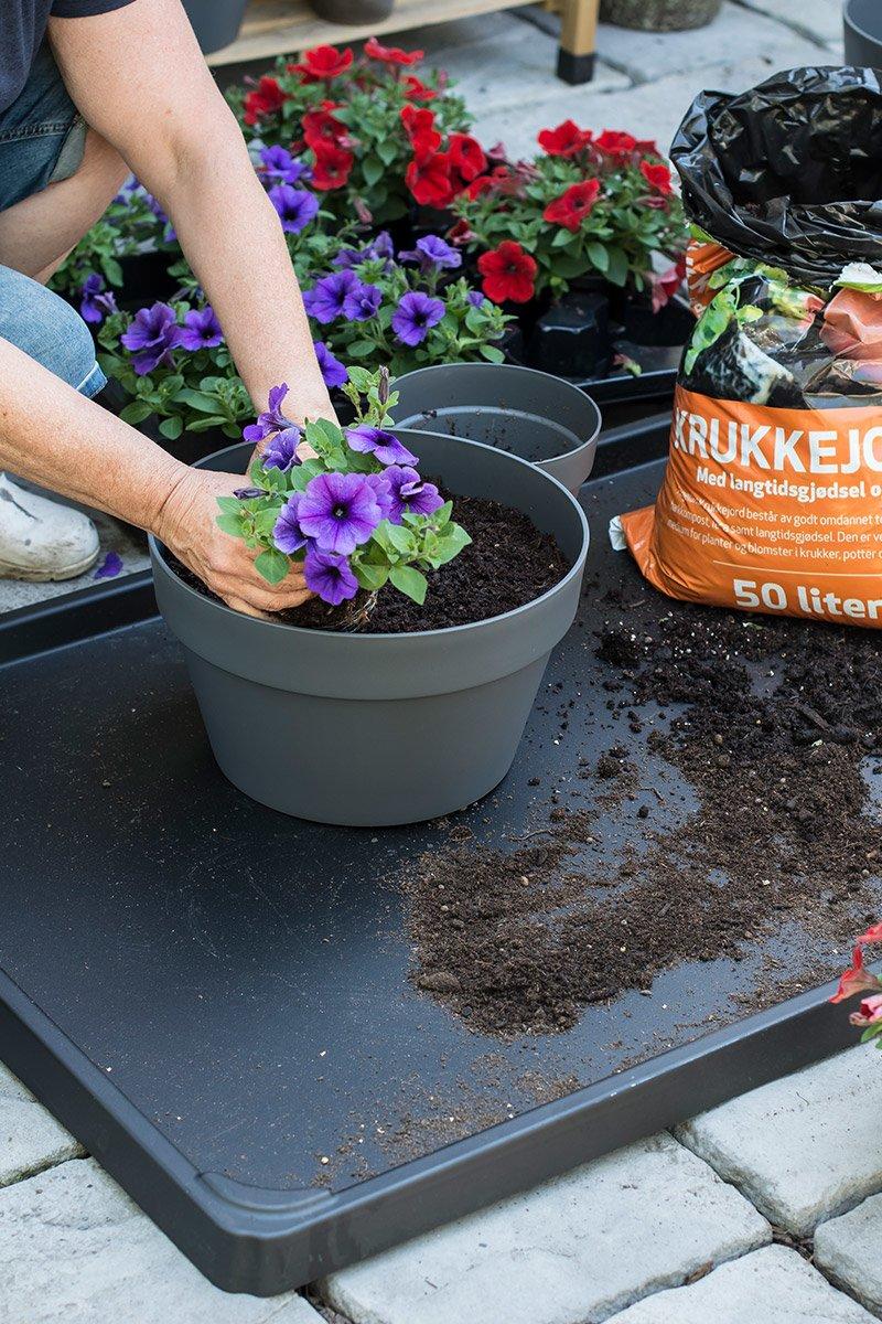 jord potte planting petunia