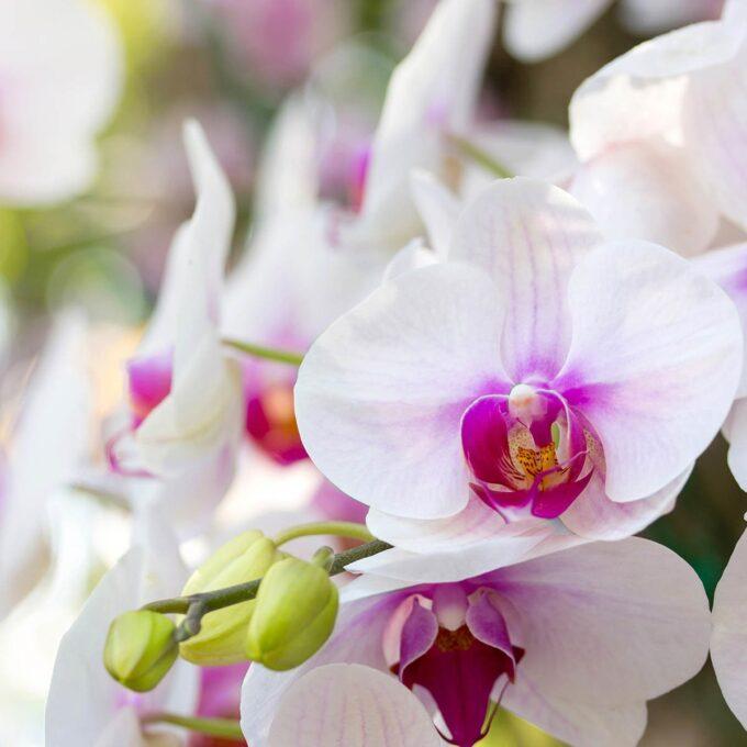 Hvit orkide med rosa senter