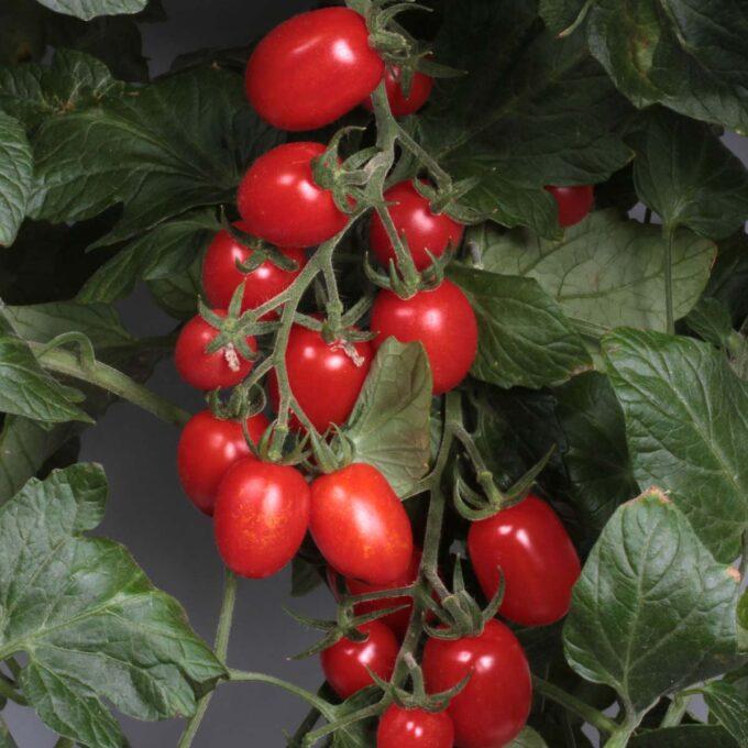 Stor klase røde, modne plommetomater med dypgrønt bladverk