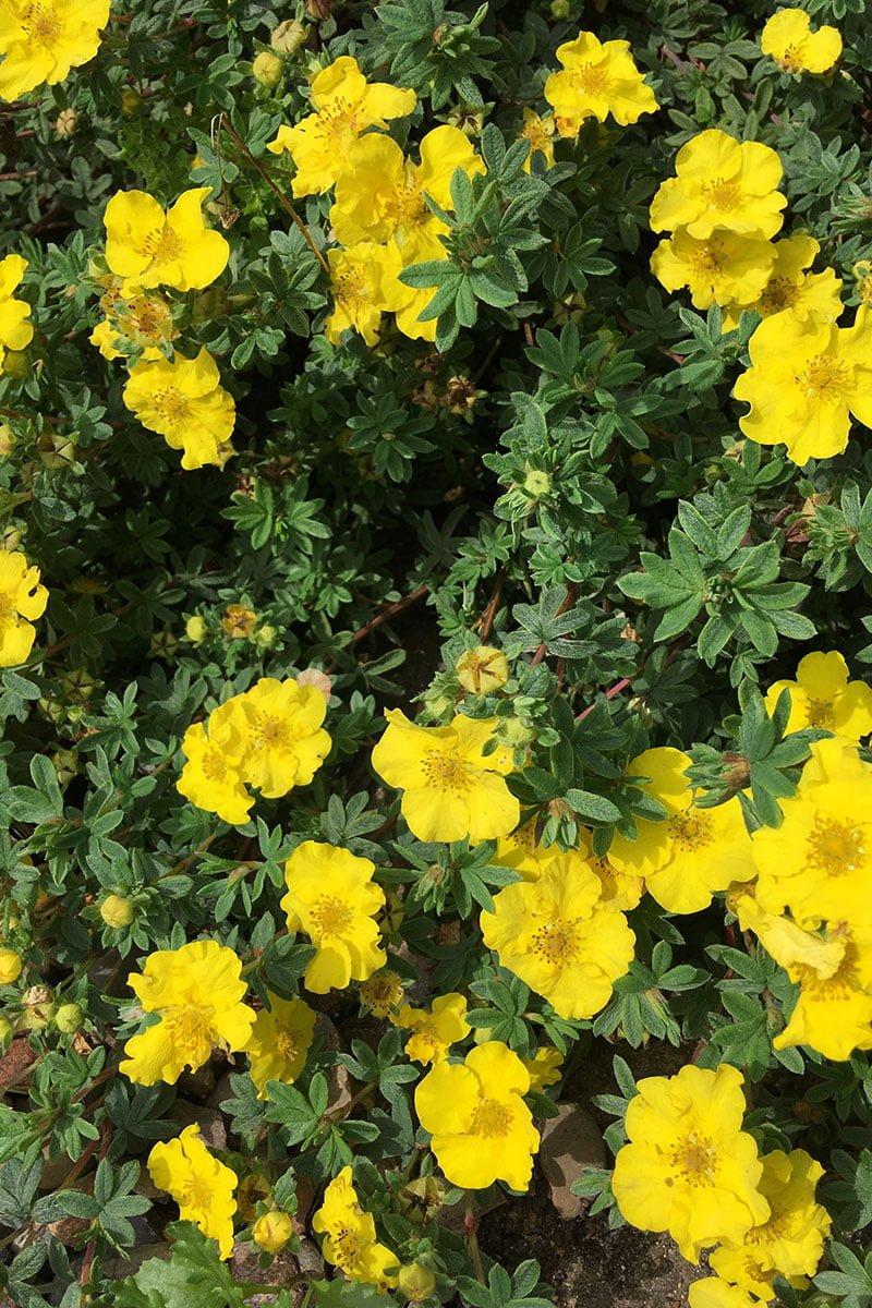 buskmure potentilla busk blomster gule