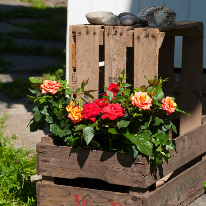 Orange, gule og røde roser ute i solen i trekasse