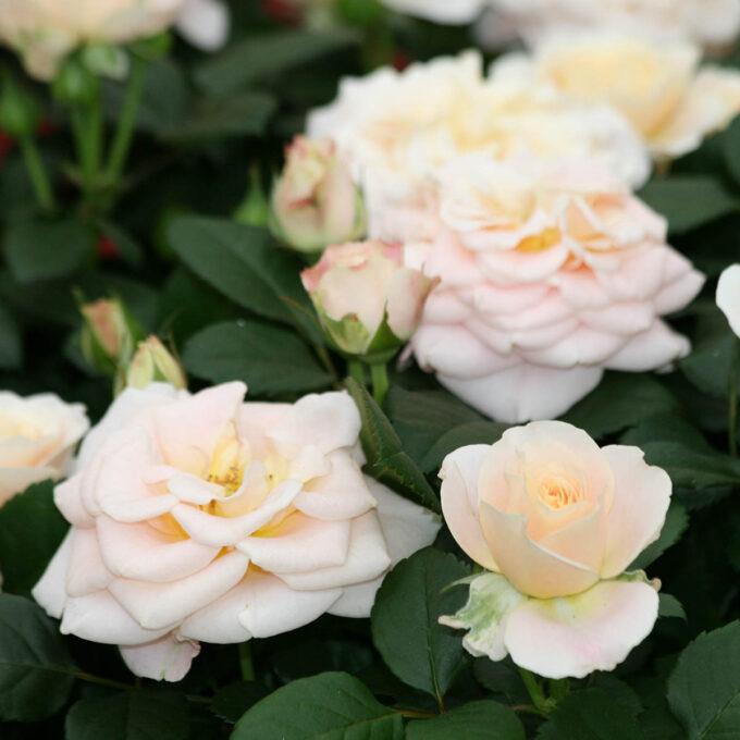 Rosakremfargede roser